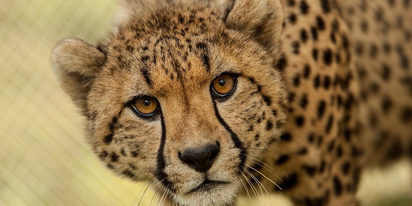 cheetah-002 smithsonian.jpg