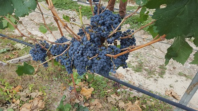 A bunch of blue grapes on a vine Description automatically generated with low confidence